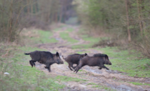 Drei flüchtige Sauen bei Wildschweinjagd